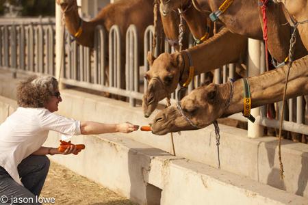 feeding camels copy