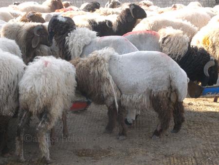 sheared sheep copy