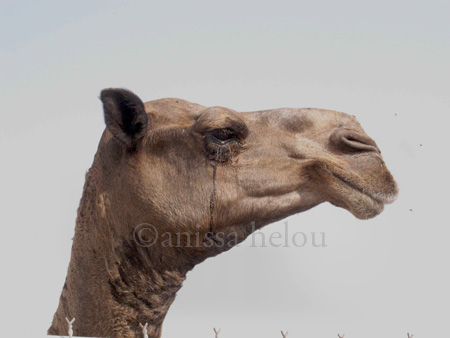 live animal market-camel portrait copy
