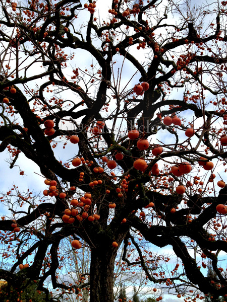 persimmon tree copy