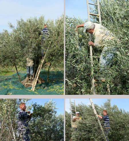 picking olives 3