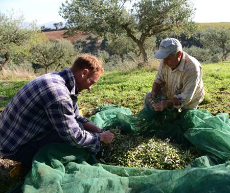 sicily-olive harvest 4 copy
