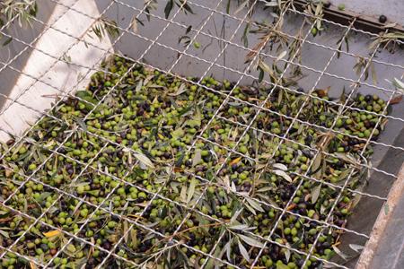 sicily-olives in tub before being taken on conveyor belt copy