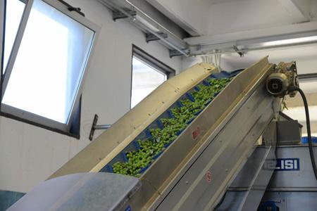 sicily-olives on the conveyor belt copy