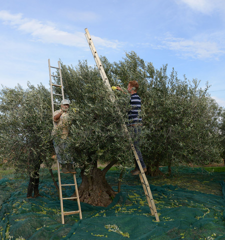 sicily-picking olives 9 copy