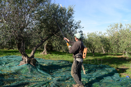 sicily-picking olives-battery operated shaker copy
