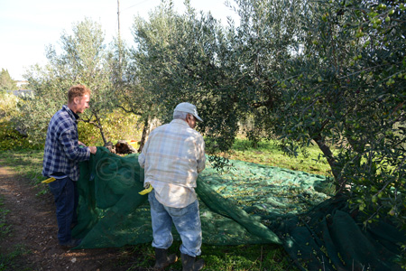 sicily-picking up the net with the olives copy