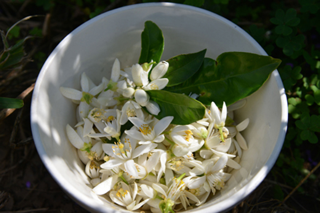 alcamo-freshly picked orange blossom copy