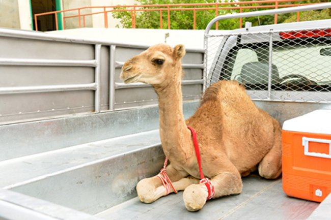 baby camel-in van copy