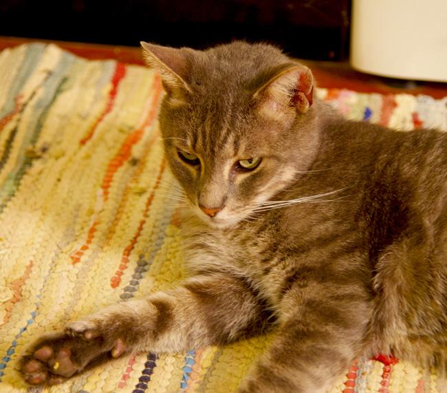 19-alcamo-gorgeous cat copy