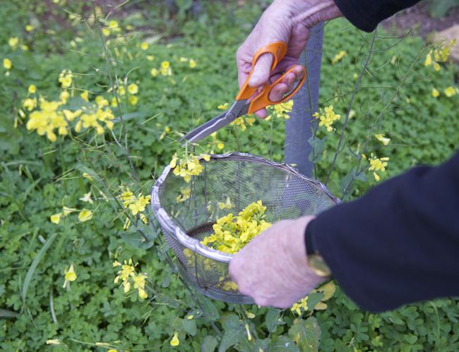 tempura-picking the cavolicelli flowers copy